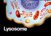 Lysosome là gì ? Liệu pháp chữa trị rối loạn Lysosome